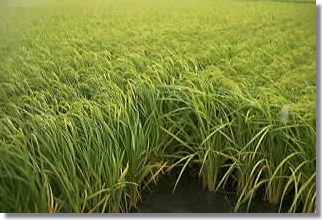 Picture of Rice in the field